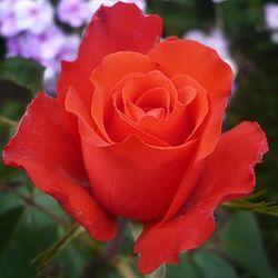 Чайно-гибридные розы сорта Голд Перл Штейн